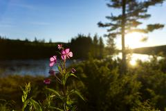 Stock Photo of Scandinavian river with fireweed flower