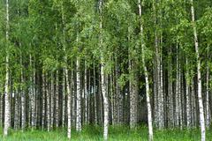 Grove of birch trees Stock Photos
