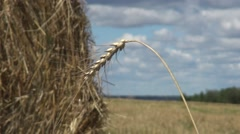 Ear of wheat on the background of a stack of straw Stock Footage