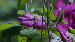 Clematis Flowers Stock Footage
