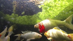 Underwater View Of A Koi Pond Stock Footage