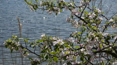 Lake and wild rose video 960x540 Stock Footage