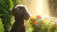 Little dog in the drizzle - stock footage