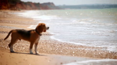 Beagle puppy standing on the sea coast bemused with the view of waves Stock Footage