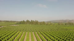 Lemon grove trees aerial flyover green healthy farmland food production growing Stock Footage