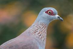 Rock Pigeon Bird - stock photo