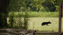 Wild black bear in state park Stock Footage