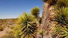 Joshua Trees and cactus in America´s Red Rock National Park. . Stock Footage