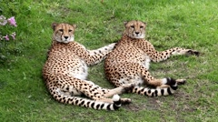 Cheetahs resting on the grass Stock Footage