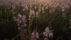 Purple Camas Flowers and Sunrise Stock Footage