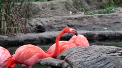 Flamingos, rest and feed on small lake at the zoo Stock Footage