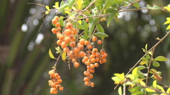 Berrys in Vientiane, Laos Stock Footage