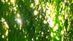 Sun though weeping willow leaves - close-up shot  - natural background Stock Footage