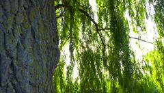 Stock Video Footage of Weeping willow zoom in - sun effect though the leaves