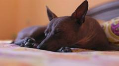 Dog tries to sleep Stock Footage