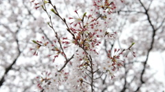 At the end of cherry flower season Stock Footage