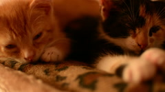 Two beautiful kittens sleeping together Stock Footage