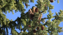 4K Squirrel Eating Fir Cone on Tree Branch, Chipmunk Eating in Forest, Wood View Stock Footage