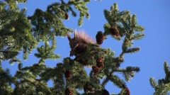 4K Squirrel Eating Fir Cone on Tree Branch, Chipmunk Eating in Forest, Wood View - stock footage