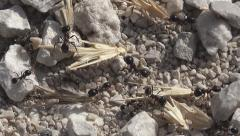 Macro Ants Working Gathering Food for Winter, Ant Hill, Workers Insects Hive - stock footage