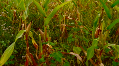 Field corn with weed. Isolated cob ,pan Stock Footage