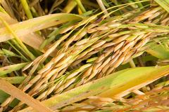 Golden rice paddy in field. Stock Photos