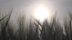 Wheat Harvest in Sunset Ray Field Ear Cereals Crop Grains Agriculture Farming Stock Footage