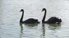 Stock Video Footage of Two black swans. Swans swim in the lake.