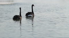 Two black swans are swimming in a fountain. Two faithful swans. - stock footage