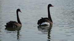 Stock Video Footage of Two black swans swimming in a pond. Couple of beautiful swans.