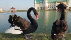 Swans drinking water near the beautiful castle. Stock Footage
