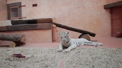 White tiger went to sleep. Tiger in a zoo. - stock footage