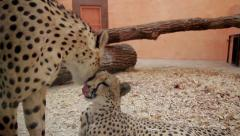 Two cheetah kiss. Cheetahs licking each other. Stock Footage