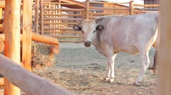 Cow in the aviary. Cow chewing hay. - stock footage