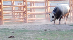 Horned bull in the aviary. Bull sprinkle himself of sand. - stock footage