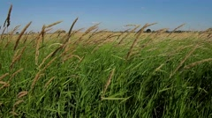 Spikelets swaying on the wind. Wind in the field. Stock Footage