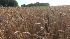 Wheat field landscape with sunny sky, 4K Stock Footage