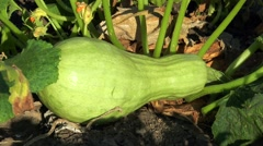 Green zucchini under leaf Stock Footage