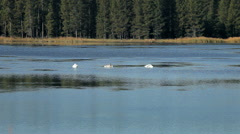 Swans on Lake in Idaho Stock Footage