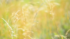 Yellow grass in the wind. Shalow Depth of field. Stock Footage
