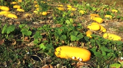 Large yellow zucchini in the garden - stock footage