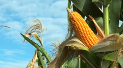 Corn on the stalk in the field Stock Footage