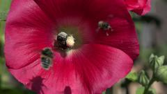 Bumblebee picking pollen from common hollyhock flower, 4K Stock Footage