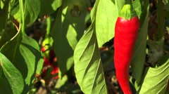 Red chili peppers in the leaves Stock Footage