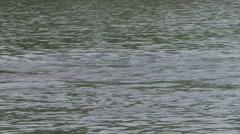 Giant River Otter family fishing filmed from boat in Pantanal in Brasil 5 Stock Footage