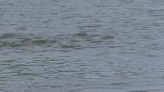 Giant River Otter family fishing filmed from boat in Pantanal in Brasil 7 Stock Footage