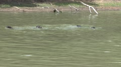 Giant River Otter family swimming in Pantanal in Brasil 1 Stock Footage