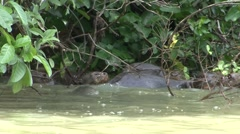 Giant River Otter family swimming in Pantanal in Brasil 7 Stock Footage