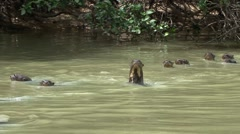 Giant River Otter family swimming in Pantanal in Brasil 8 Stock Footage
