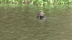 Giant River Otter feeding on fish filmed from boat in Pantanal in Brasil 1 Stock Footage